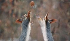 squirrels catch a nut, Vadim Trunov (590×350)