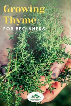 Thyme is a delicious herb at can't be missing from your herb garden! Learn how to grow this herb in your garden or in containers.  #gardening #gardeningtips #permaculture  #homesteadgarden #organicgardening #homesteading #urbangardening #vegetablegardening #growingfood #gardening4climate #gardeningforclimate #herbs #herbgardening Diy Herb Garden, Herb Garden Design, Lawn And Garden, Growing Herbs, Growing Vegetables, Garden Renovation Ideas, Thyme Herb, Gardening For Beginners, Gardening Tips