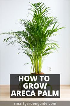 House Plant Maintenance Tips Guide To Areca Palm Care. Otherwise called Butterfly Palm, Yellow Palm And Dypsis Lutescens, It Is A Wonderful Palm To Grow As A Houseplant. Find out About Growing Areca Palm Indoors At Areca Palm Care, Areca Palm Plant, Fake Plants Decor, House Plants Decor, Permaculture, Indoor Palms, Outdoor Palm Plants, Outdoor Gardens, Bamboo Palm