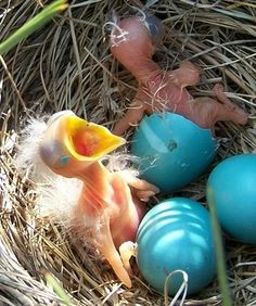 Amazing shot of backyard newborns. Aliens in my backyard. Pretty Birds, Love Birds, Beautiful Birds, Animals Beautiful, Mini Malteser, Rapace Diurne, Baby Animals, Cute Animals, Baby Robin