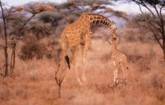 Even though giraffes have six-foot-long necks, they only have seven neck bones-- just like us!