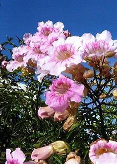 Podranea ricasoliana Pink Trumpet Vine http://www.houzz.com/ideabooks/26250135/list/great-design-plant-pink-trumpet-vine-heralds-vibrant-color
