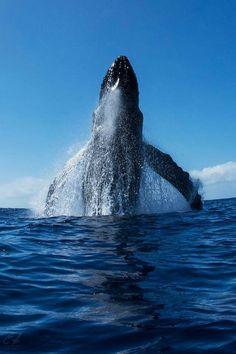 Humpback whale.                                                                      www.taramtominaga.com                                                                       Tara Tominaga | Artist | Photographer | Whale of a Tale