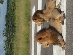 and the male Selati lions lounge on the Ulusaba airstrip waiting to welcome us back!