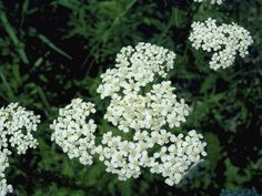 Yarrow. Full sun. Edible/medicinal. Comes in yellow, white, or red. perennial.