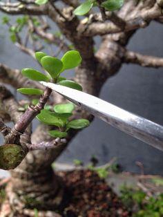 Jade Plant Bonsai, Succulent Bonsai, Jade Plants, Succulent Gardening, Bonsai Plants, Bonsai Garden, Succulents, Organic Gardening, Bonsai Tree Care