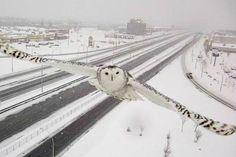 Tunturipöllön lento jäisellä moottoritiellä tallentui liikennevalvontaan.