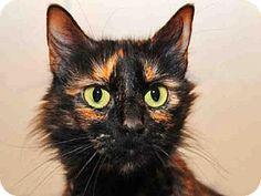 Louisville, KY - Domestic Mediumhair. Meet ZELDA, a cat for adoption. http://www.adoptapet.com/pet/12883618-louisville-kentucky-cat