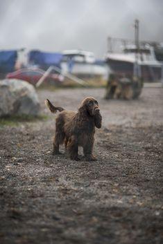 Field Spaniel ~ Classic Look & Trim Boykin Spaniel, English Cocker Spaniel, Spaniels, Field Spaniel, Dog Furniture, Hunting Dogs, Working Dogs, Dog Training Tips, Dog Names
