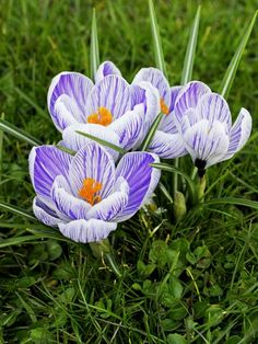 Crocus works well with: Chinese ground orchid (Bletilla striata); Hosta 'Patriot' (Hosta 'Patriot'); Geranium 'Biokovo' (Geranium cantabrigiense 'Biokovo')