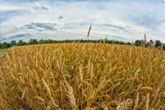 Field of Grain (Prince George County) by Kenneth Newman Prince George County, Virginia, Donate Now, Outdoor, Outdoors, Outdoor Games, Outdoor Life