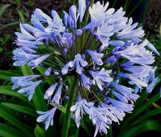 Lily of the Nile (Agapanthus africanus) Agapanthus Africanus, Cable Modem, Surfboard, Lily, Packaging, Garden, Flowers, Plants, Garten