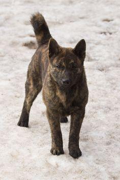 kai ken (tiger dog)