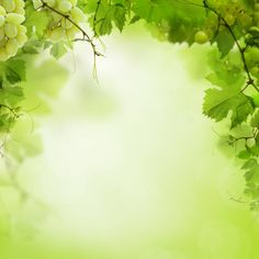 sunny green background with grape vines and leaves
