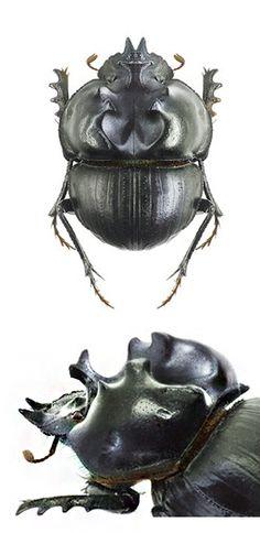 Glyphoderus centralis