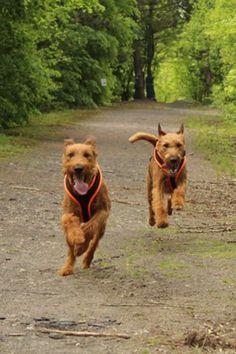 Happy Irish Terriers!!