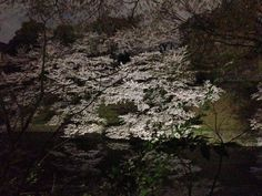 "The cherry tree of an ""Chidorigafuchi"""