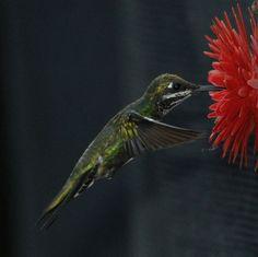 Foto bico-reto-de-banda-branca (Heliomaster squamosus) por Marcus Moreira | Wiki Aves - A Enciclopédia das Aves do Brasil
