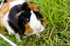 Aggie my beautiful Abyssinian Guinea Pig <3