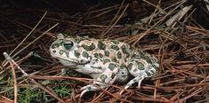 Sardegna Foreste - Flora e fauna - Fauna - Anfibi