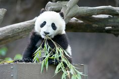 Mr. Wu by Rita Petita  Xiao Liwu practices his bamboo eating skills, he has 9 months to learn before he separates from his mom. The San Diego Zoo panda cubs are weaned at 18 months of age, it is a gentle process
