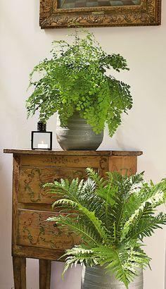 "Adiantum caudatum et Blechnum gibbum ""Silver Laday"" Indoor Garden, Indoor Plants, Cactus, Ferns Garden, Inside Plants, Pot Plants, Potting Sheds, Conservatories, Decoration"