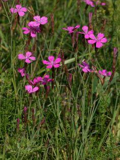 Maiden Pink - Dianthus deltoides flowers in June Forest Flowers, Wild Flowers, Wonderful Flowers, Nature Wallpaper, Flower Tattoos, Botany, Finland, Scenery, Gardens