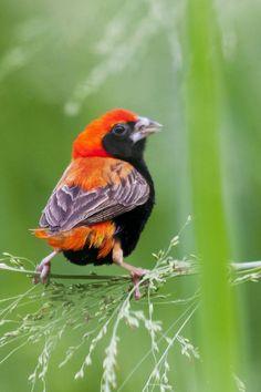オオキンランチョウ  Southern red bishop, Red bishop (Euplectes orix) male