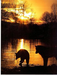 Wolves at sunrise. only if people saw the true beauty of wolves