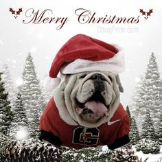 The major breeds of bulldogs are English bulldog, American bulldog, and French bulldog. The bulldog has a broad shoulder which matches with the head. Christmas Animals, Christmas Dog, Merry Christmas, Baby Puppies, Bulldog Puppies, Funny Bulldog, Bulldog Mascot, Bulldog Pics, Bulldog Wallpaper
