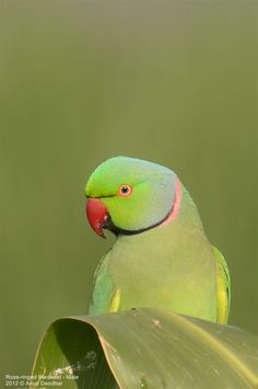 Rose-ringed Parakeet - Male by Anup Deodhar on 500px