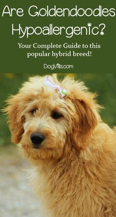 Are Goldendoodles hypoallergenic? As you may know, the Golden part of the equation is NOT, yet the poodle part IS. So what happens when you combine the two? Find out the answer, along with everything you need to know about this popular hybrid dog breed! Puppy Food, Pet Puppy, Dog Dna, Hypoallergenic Dog Breed, All Types Of Dogs, Dog Health Tips, Australian Labradoodle, What Cat, Doodle Dog