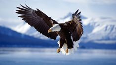 Eagles are one of the most special creatures in this world. Its meaning is enormous in the United States. Eagles always fly high. Anyone who has a fascination with eagles will love this wallpaper. Alaska Wallpaper, Eagle Wallpaper, Tier Wallpaper, Animal Wallpaper, Amazing Wallpaper, 1080p Wallpaper, Wallpaper Pictures, Wallpaper Ideas, Beautiful Birds