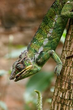 chameleon climbing down