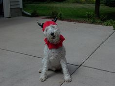 'Mickee' the Wire Fox Terrier ready for Halloween