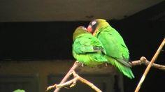 Agapornis nigrigenis (Black cheeked lovebirds) at Welt Vogelpark, Walsrode Love Birds, Animals, Black, Animales, Animaux, Black People, Animal, Animais
