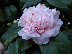 Camellia japonica 'Pomponia Estriata Portuensis' (Portugal, 1865)