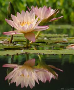 """blooms-and-shrooms: """"  Pretty in Pink Water Lilies by David Schimmack """""""