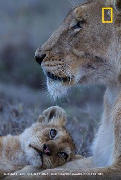 Big Cats, Cats And Kittens, Cute Cats, Beautiful Cats, Animals Beautiful, Cute Baby Animals, Animals And Pets, Wild Animals, Baby Lion Cubs