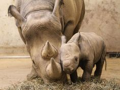 Resultados de la Búsqueda de imágenes de Google de http://www.pluspets.net/wp-content/uploads/2011/01/Baby-Rhino5.jpg