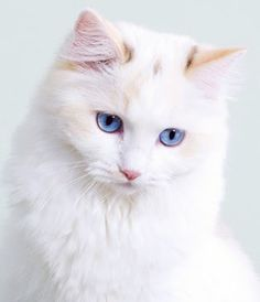 Image result for pure white cat breeds