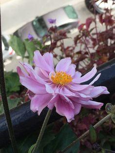 Le retour de mon anémone 'Mount Rose' #fleur #été #balcon #vivace http://www.pariscotejardin.fr/2016/08/le-retour-de-mon-anemone-mount-rose/
