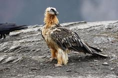 Bearded vulture that can even eat bones Crazyyyyyy Wildlife wild_nd_crazy forest forestlife natgeowild naturelovers birds eagle snakelover snakes animallover fishing vultuer Robert Walser, Bird Facts, Red Pigment, Vulture, Birds Of Prey, Bird Watching, Old World, Bald Eagle, Natural
