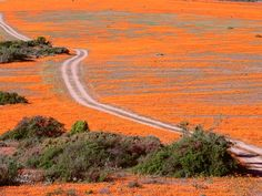 Road Through vadvirágok, Namaqualand, Dél-Afrika Places Around The World, Oh The Places You'll Go, Around The Worlds, Desert Flowers, Wild Flowers, Free Screensavers, Native Country, Heavenly Places, Living In Europe