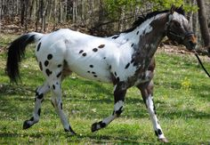 Standing at Stud- Doncha Wanna Moon Me. For services offered and more information on him please look up Waibel Farm Appaloosa Horses on facebook