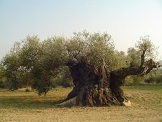 LOS ÁRBOLES MILENARIOS. La vida de un árbol milenario se convierte en un patrimonio natural que preservar. Y en el caso de los olivos, fuente natural de una esencia excepcional. Esta propuesta se acompaña con la puesta en marcha de dos museos naturales: el Museo del Arión, y el del Pou del Mas. Proyectos que han servido para incrementar la producción de Aceite de Olivos Milenarios, que es  todo un placer degustarlo al paladar.