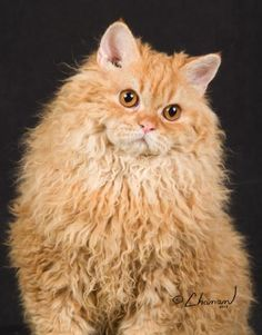 I just washed my hair and I can't do a thing with it.  Selkirk Rex