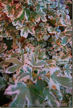 My favourite of all within the genus Acer [Maple] is Acer campestre 'Carnival' - a sublime diminutive 'hedge' Maple with pink, cream and green foliage throughout the season. Heavenly!