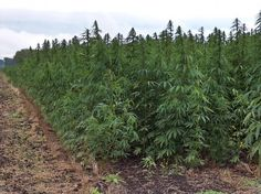 Behind The Scenes Of Country's Largest Hemp Growing Operation  http://www.lex18.com/news/behind-the-scenes-of-country-s-largest-hemp-growing-operation … #hemp #kentucky  #KY #gop #dems