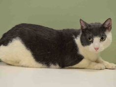 NYC **Poor Boy has Lost his Guardian** TO BE DESTROYED 03/25/15 CANARY tolerates attention & petting but may be fearful in the shelter. ID #A1030876. Neutered male white & gray about 5 YEARS old.  OWNER DIED. https://www.facebook.com/nycurgentcats/photos/a.978008928883761.1073742635.220724831278845/978009178883736/?type=3&theater